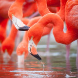 flamingo Arkivfoton