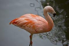 flamingo 1 Zdjęcia Stock
