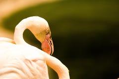 flamingo Lizenzfreie Stockfotos