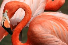 Flamingo. Close up of a flamingo Stock Image