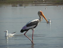 Flamingo 8 Arkivfoton