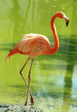 Flamingo. Orange flamingo in the water Stock Images