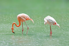 Flamingo. Two flamingo fishing on lake Stock Photography
