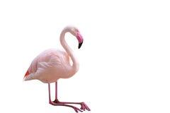 flamingo Fotografie Stock