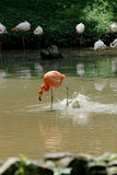 Flamingo in action. A red flamingo is catching fish Royalty Free Stock Photos