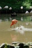 Flamingo in action Royalty Free Stock Photos