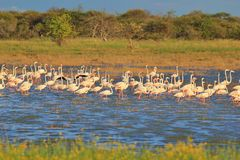 Flamingo - African Exotic Wildlife Background - Beautiful Nature Stock Photo