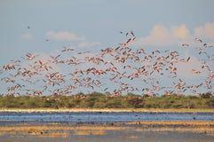 Flamingo - African Exotic Wildlife Background - Flock Flight stock photos