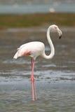 Flamingo africano fotografia de stock