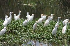 Flamingo Afrika-, Tanzania kleiner Stockfotografie