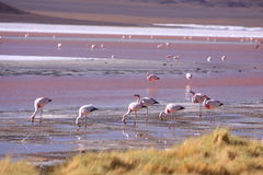 Flamingo in Altiplano Bolivia Stock Photo
