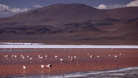 Flamingo in Altiplano Bolivia Stock Images