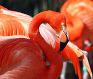 Flamingo americano Fotografia de Stock Royalty Free
