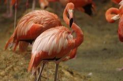 Flamingo americano Foto de Stock Royalty Free