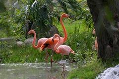 Flamingo americano Imagens de Stock
