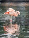 Flamingo americano cor-de-rosa na água pouco profunda fotos de stock