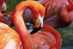 Flamingo americano - ruber de Phoenicopterus Imagem de Stock Royalty Free