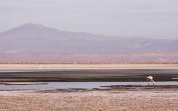 Flamingo in Atacama Royalty Free Stock Image