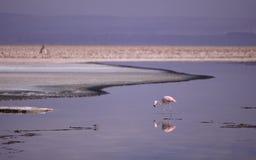 Flamingo in Atacama Royalty Free Stock Photos