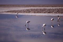 Flamingo in Atacama Stock Photography