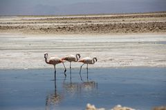 Flamingo, Atacama Chile, Südamerika stockfotografie