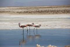 Flamingo, Atacama Chili, Zuid-Amerika Stock Fotografie