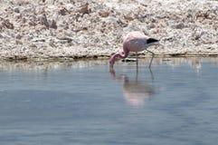Flamingo at Atacama desert Royalty Free Stock Photography