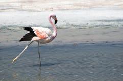 Flamingo at Atacama desert Stock Photography