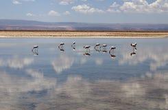 Flamingo at Atacama desert Royalty Free Stock Photos