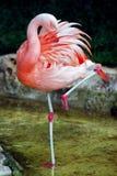 Flamingo auf einem Fahrwerkbein Stockfotos