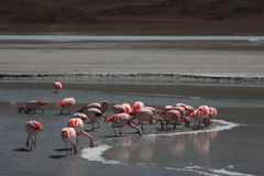 Flamingo auf Laguna Hedionda Stockbilder