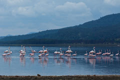 Flamingo auf See Lizenzfreie Stockfotos