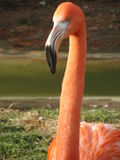 Flamingo Aware. This guy was at attention as we walked by, very pretty colors too Royalty Free Stock Photo