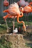 Flamingo Baby Royalty Free Stock Image