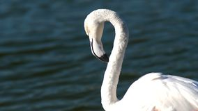 Flamingo on a background of close-up water stock video footage