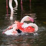 Flamingo bath Royalty Free Stock Photos