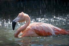 Flamingo bathing Stock Photo