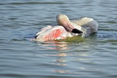 Flamingo bathing in water royalty free stock photography