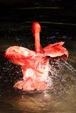 Flamingo bathing in water with wings partially open and lots of splashing stock photography