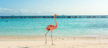 Flamingo on the beach. Aruba island. Flamingo on the Aruba beach. Flamingo beach stock photography