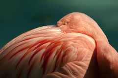 Flamingo with beak buried in its feathers. With only the eye showing royalty free stock images