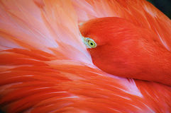 Flamingo with beak tucked under wing Royalty Free Stock Image