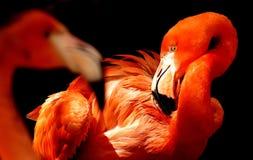 Flamingo, Beak, Water Bird, Vertebrate Royalty Free Stock Image
