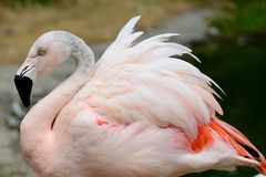 Flamingo. Beautiful flamingo spreading orange an white feathers stock photography