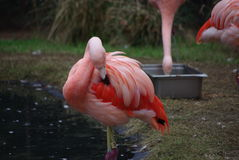 Flamingo. Beauty at its finest. An array of pink splashed onto one bird. Amazing Royalty Free Stock Photography