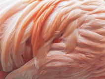 Flamingo befjädrar bakgrund Royaltyfri Foto
