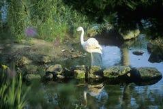 Flamingo in Bellingrath Gardens, AL Royalty Free Stock Image