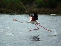 Flamingo betriebsbereit zu fliegen Stockfoto