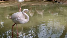 Flamingo bewegende beet de hals stock footage