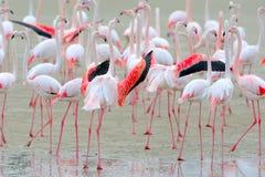Flamingo big boss. Stock Photography